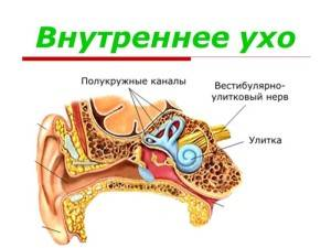 Внутреннее ухо в разрезе